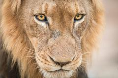 Lion starring in the Kruger National Park. Stock Photos