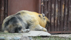 Chinese animal Takin resting Stock Footage