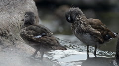Young mandarin ducks with water on the background Stock Footage