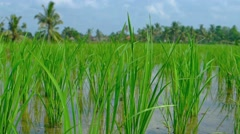 Shoots of Rice in Neat Rows on a Balinese Plantation. Footage 1920x1080 Stock Footage