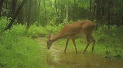 Whitetail Deer in Rain Stock Footage