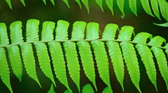 Delicate Fronds of a Tropical Fern in Closeup. Footage 1920x1080 Stock Footage