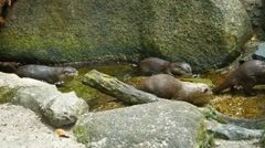 Family of Adorable Otters at the Zoo. Footage 1920x1080 Stock Footage