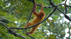 Baby Oragutan Hangs from Tree Branch at the Zoo. FullHD 1080p video Stock Footage