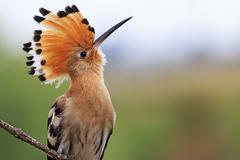 Magnificent bird with bangs Stock Photos