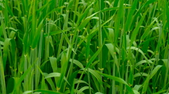 New shoots of a barley on a field. Stock Footage