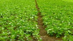 Panning shot of a green field of soy. Stock Footage