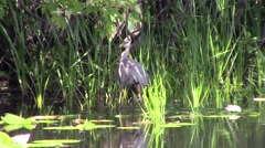 A Great Blue Heron - stock footage