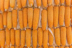 Sweet Corn of Agricultural products in farm - stock photo