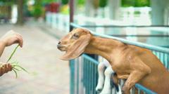 Goat Feeding at Farm slowmotion Stock Footage