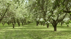 Apple tree alley in the farm. Smooth slider shot. Clean and bright daytime. Stock Footage
