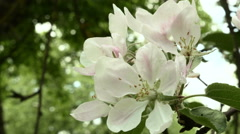 Blown apple flower in the park. Close up shot. Clean and bright daytime. Stock Footage