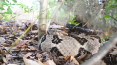 Timber Rattlesnake Defensive Posture Stock Footage