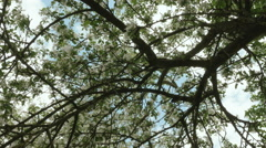 Upper branches of apple tree. Clean and bright daytime. - stock footage