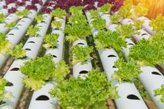 Organic hydroponic vegetable in the cultivation farm - stock photo