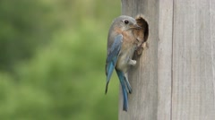 Female Eastern Bluebird at a Nest Box Stock Footage