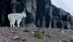 Young Mountain Goat Stands on Rocky Moraine Kuvituskuvat