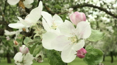 Blown apple flower swaying in the wind. Close up shot. Clean and bright daytime. Stock Footage