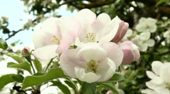 Pink apple flower in the park. Close up shot. Clean and bright daytime. Stock Footage