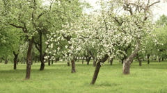 Apple tree  farm. Smooth slider shot. Clean and bright daytime. Stock Footage