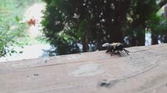 Carpenter Bee Closeup Stock Footage