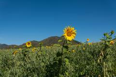 oat sunflowers peas field mountains - stock photo