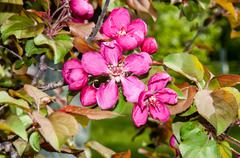 Flowers of the Apple-tree red color Stock Photos