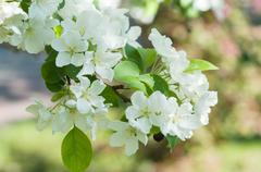 Flowers of the Apple-tree white color Stock Photos