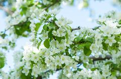Flowers of the Apple-tree white color - stock photo