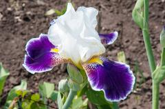 Iris white-blue color - stock photo