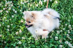 Dog breeds of Spitz Stock Photos