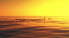 Amazing sunset view of sun over horizon and dolphins swim together in quiet sea Stock Footage