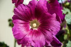 Malva flower light violet Stock Photos