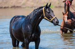 Horses at a watering-place - stock photo