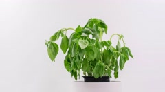 Time-Lapse of wilted plant (Ocimum basilicum) resurrecting after being watered. Stock Footage