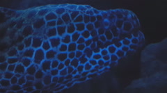 Moray Eel Close Up Head Stock Footage