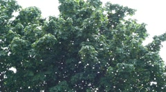 Poplar Fluff Falls From the Tree and Looks Like as Snow in the Sky. - stock footage