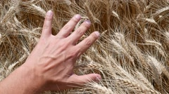 Man lay hand upon a mellow wheat ears on a field before gathering a harvest Stock Footage