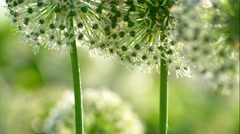 Beautiful White Allium circular globe shaped flowers blow in the wind - stock footage