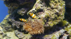 Relationship of Nemo (Clown Fish) and Anemones. Stock Footage