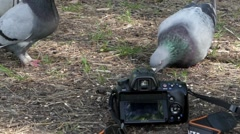 The Camera Records, as the Pigeons Eat the Grain in the Wood. Stock Footage