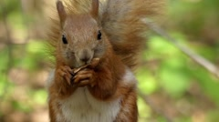 Beautiful Shot in the Forest. Red Squirrel Eats a Nut in Slow Motion. Stock Footage