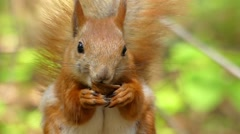 Beautiful Close up Shot in the Forest. Red Squirrel Eats a Nut. Stock Footage