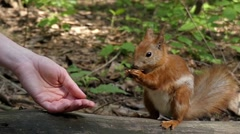 Red Squirrel Takes a Nut From the Hands. Slow Motion. Stock Footage