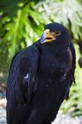 Black eagle portrait Stock Photos