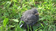 Blackbird nestling sitting on a grass Stock Footage