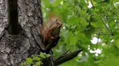 Squirrel Sits on a Tree Branch. Slow Motion. Stock Footage