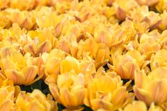 Tulips on flowerbed - stock photo