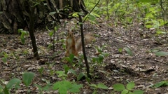 Squirrel Run and Jumping in Slow Motion. Stock Footage