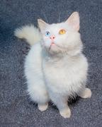 white cat with eyes heterochromia - stock photo